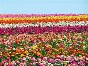 Carlsbad Flower Field Pic